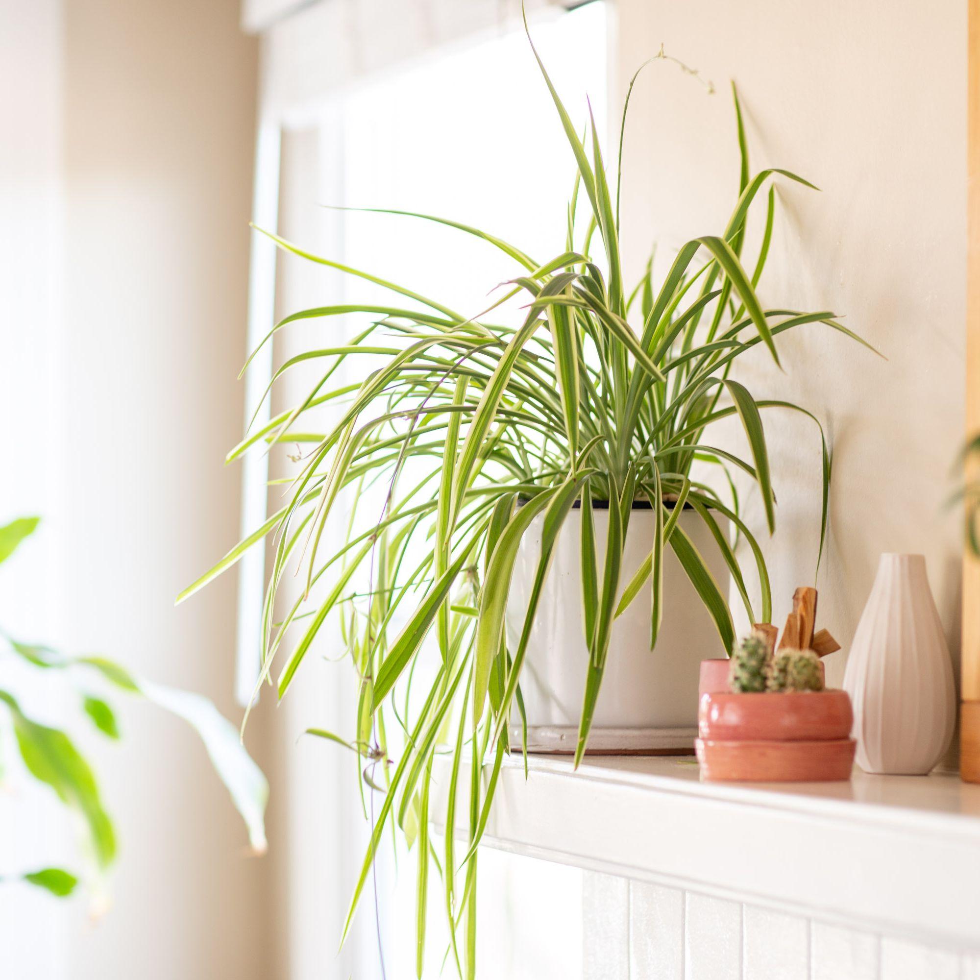 Growing Spider Plants Chlorophytum