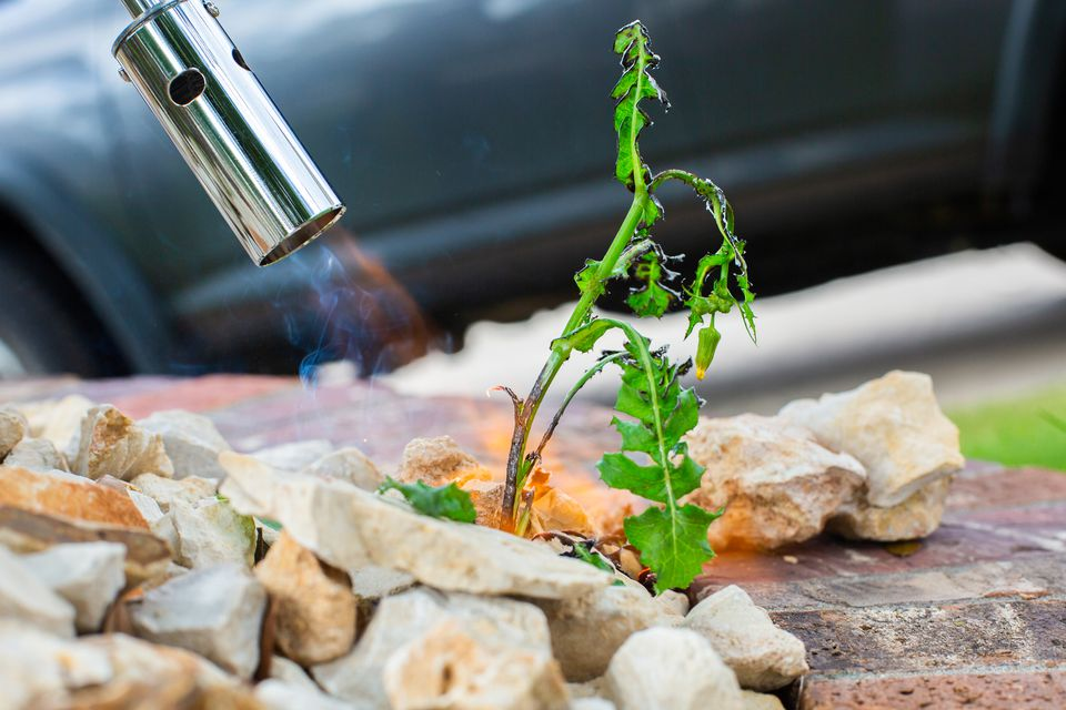 using a propane torch to kill a weed