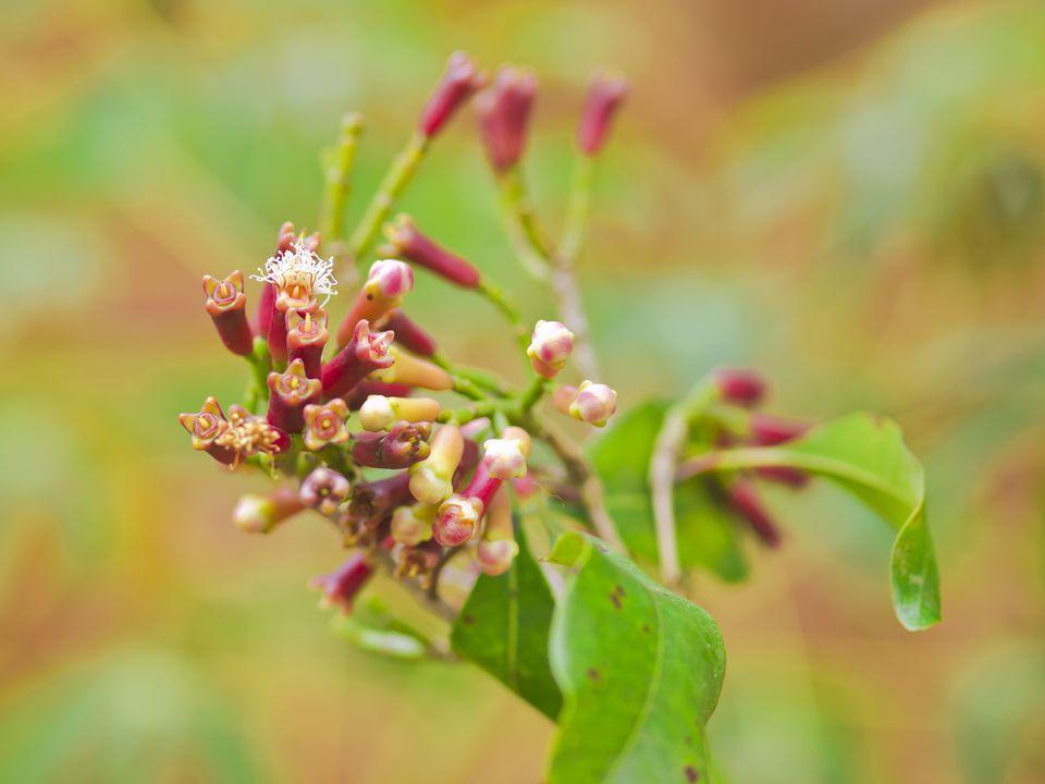 Clove tree (close-up)