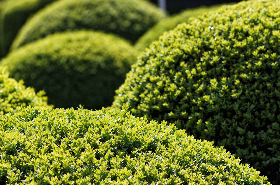 Close-Up Of Boxwood Bushes In Amstelpark During Sunlight