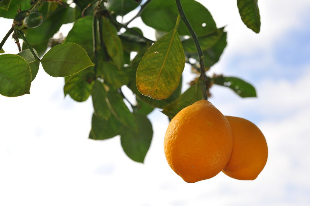 Grow And Care For Meyer Lemon Trees In Pots