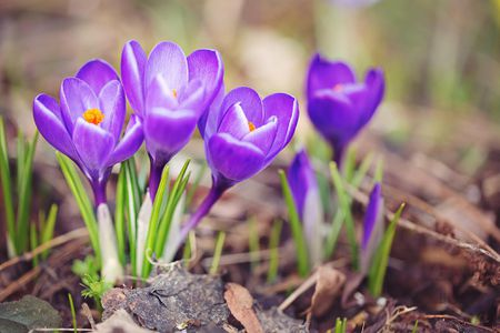 How to grow and maintain spring blooming crocus purple crocuses sprouting in early spring mightylinksfo