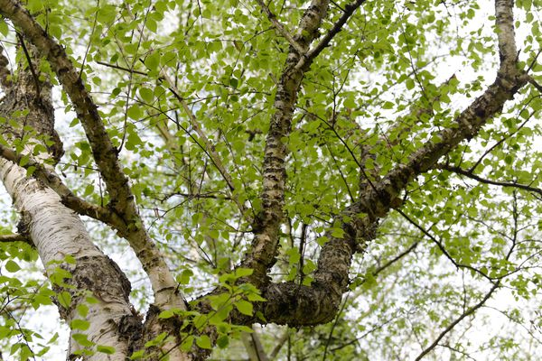 Paper birch tree with branches growing upwards and green leaves