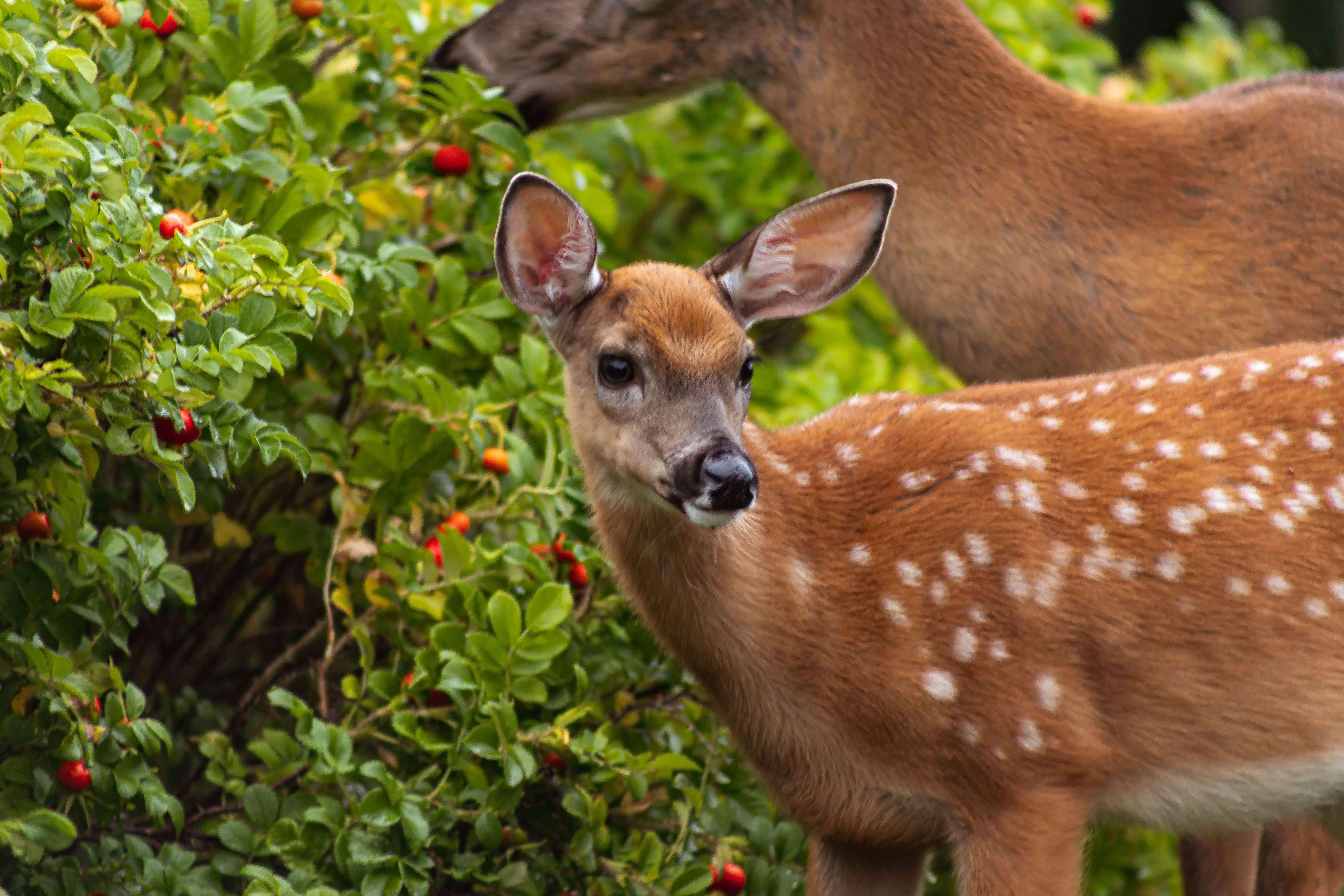 Deer near a landscape in a yard