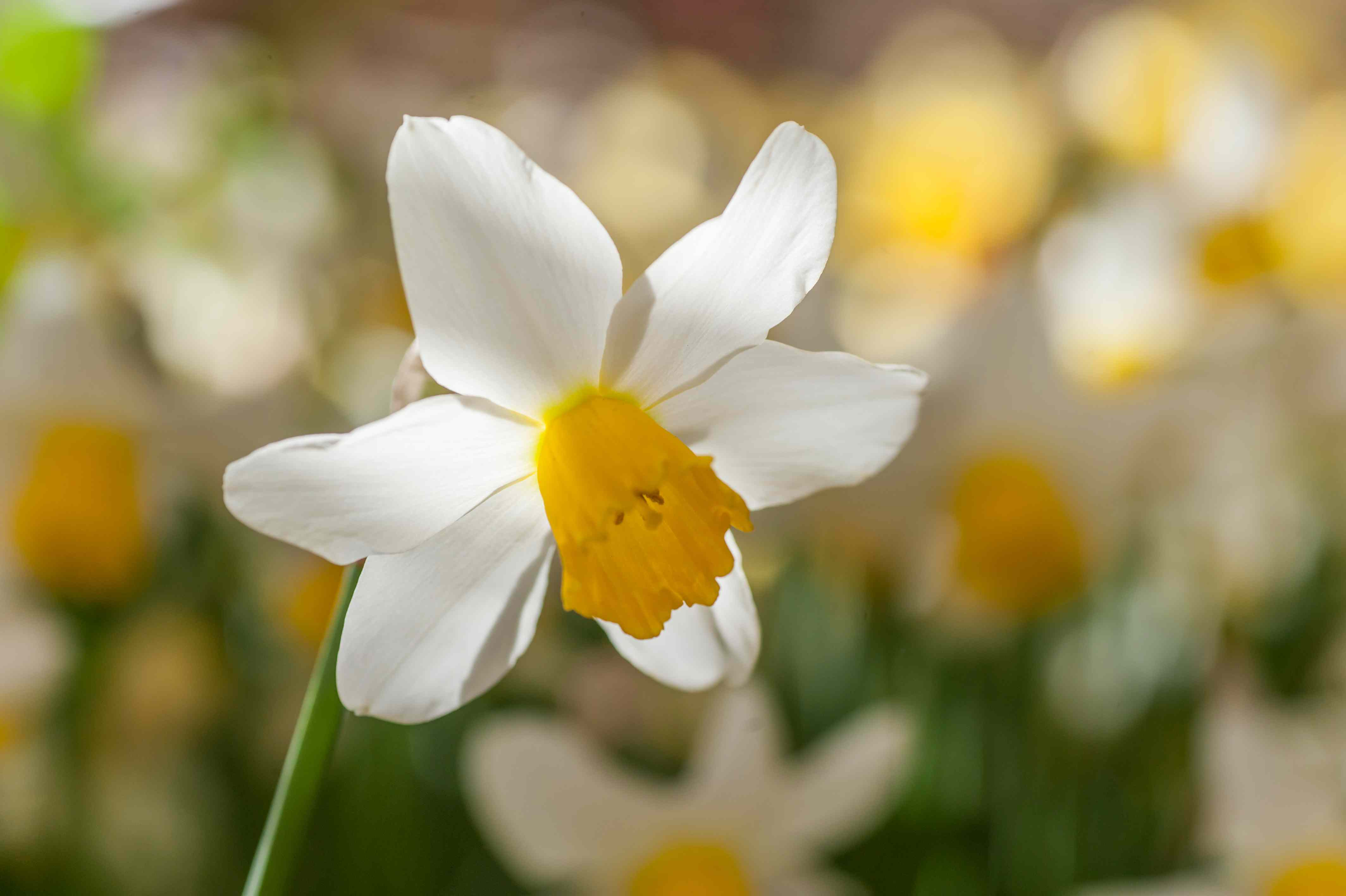 Cyclamineus daffodil with white petals and yellow cup