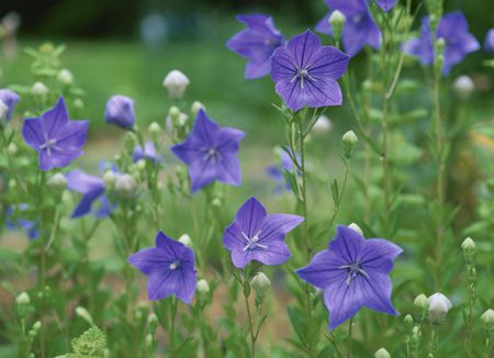 How To Grow Balloon Flowers