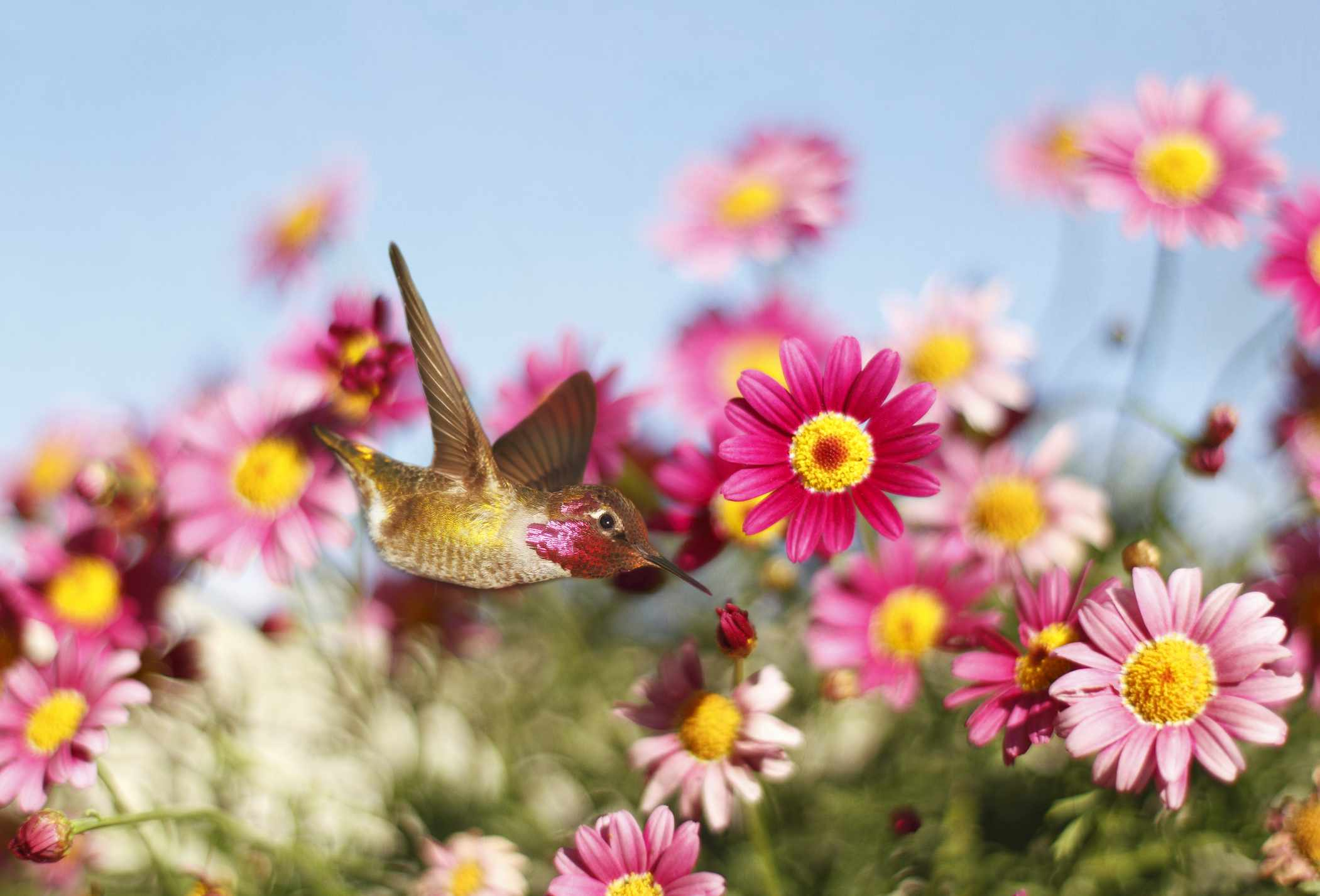 A hummingbird flying in front of pink flowers.