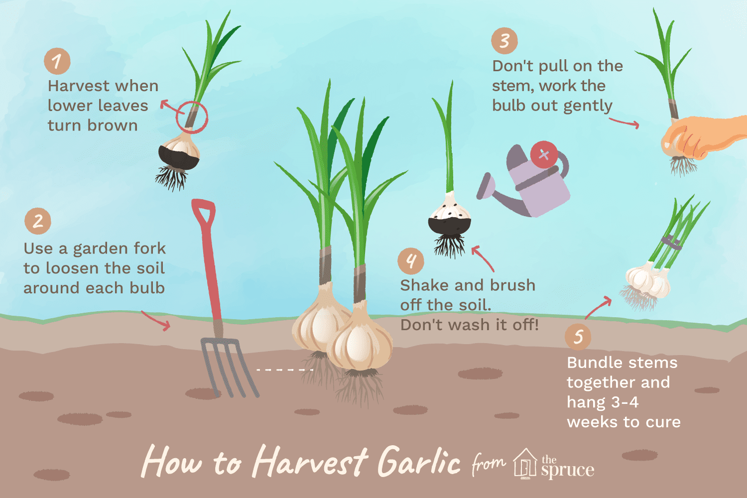 How To Harvest And Garlic