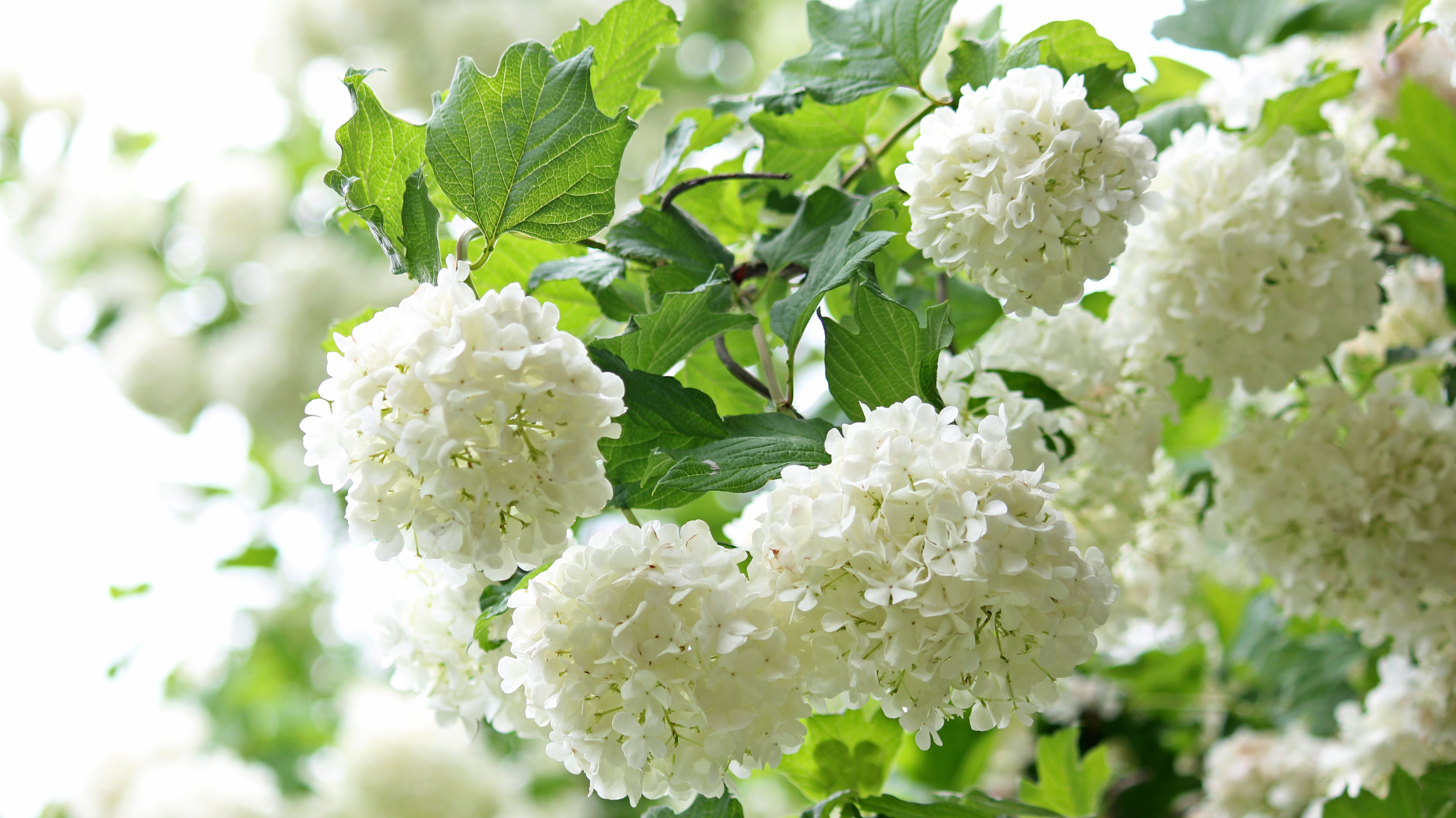 Viburnum Shrubs Care And Growing Guide