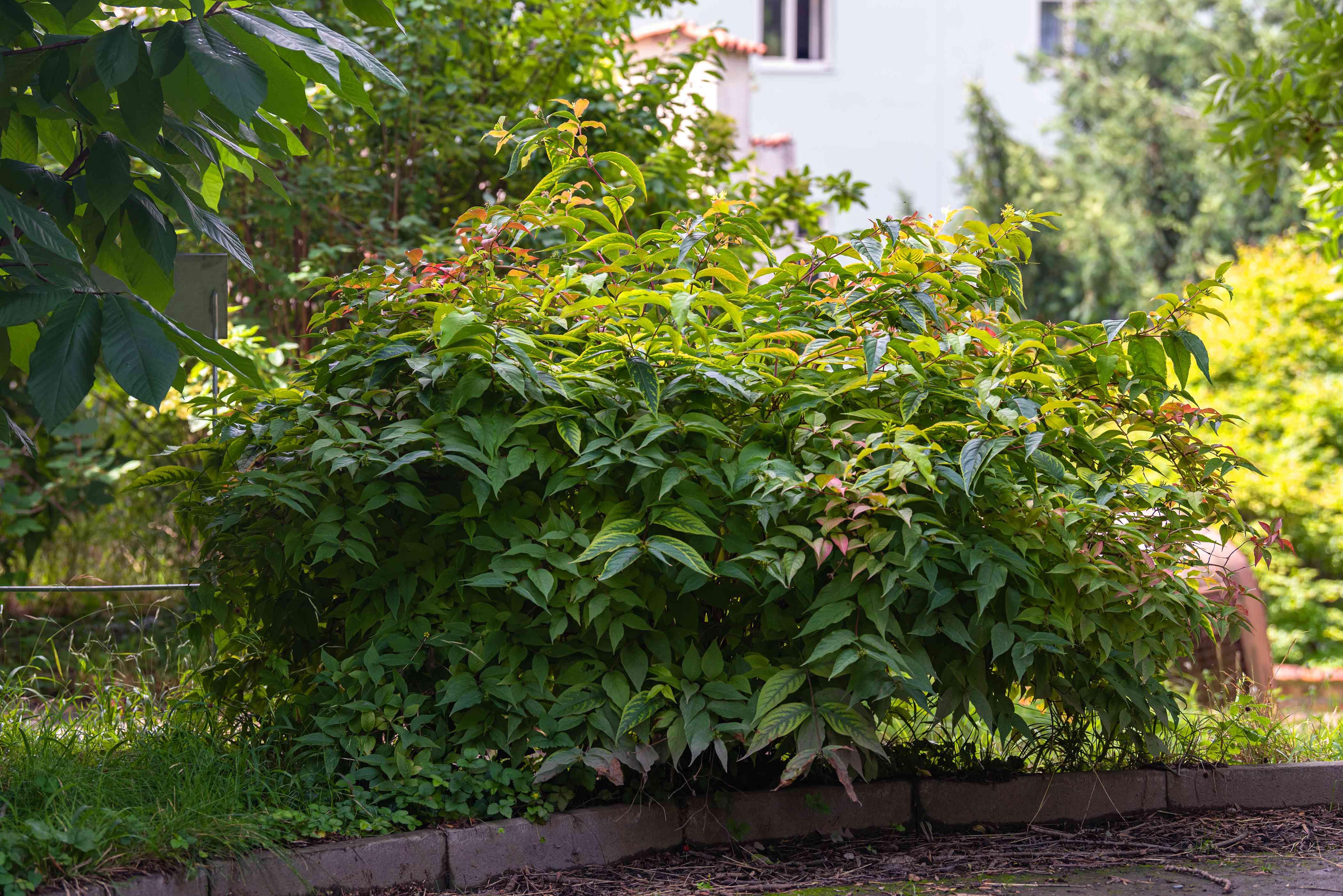 Northern bush honeysuckle shrub with dense thickets on edge of yard
