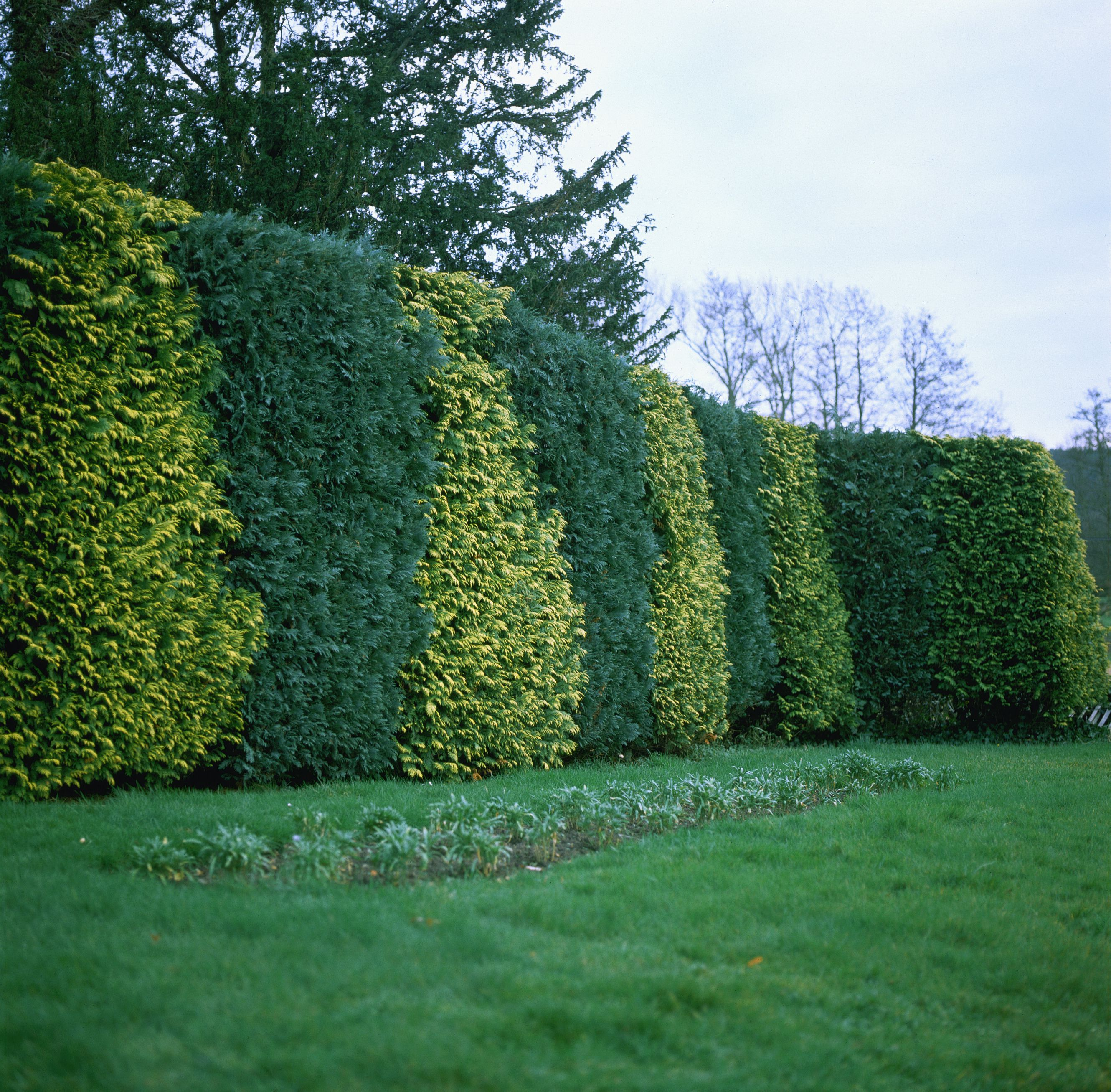 Variegated false cypress trees made in a hedge