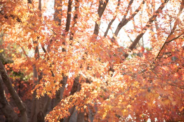 Japanese maple crimson queen tree with orange leaves on branches hanging across trunks and sunlight