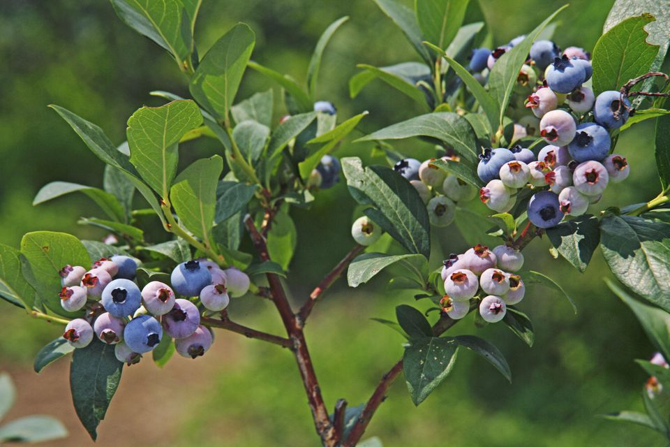 Blueberries on Branch