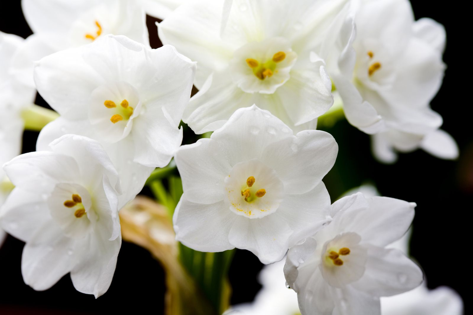 Gardening Tip Use Alcohol To Keep Paperwhites Erect