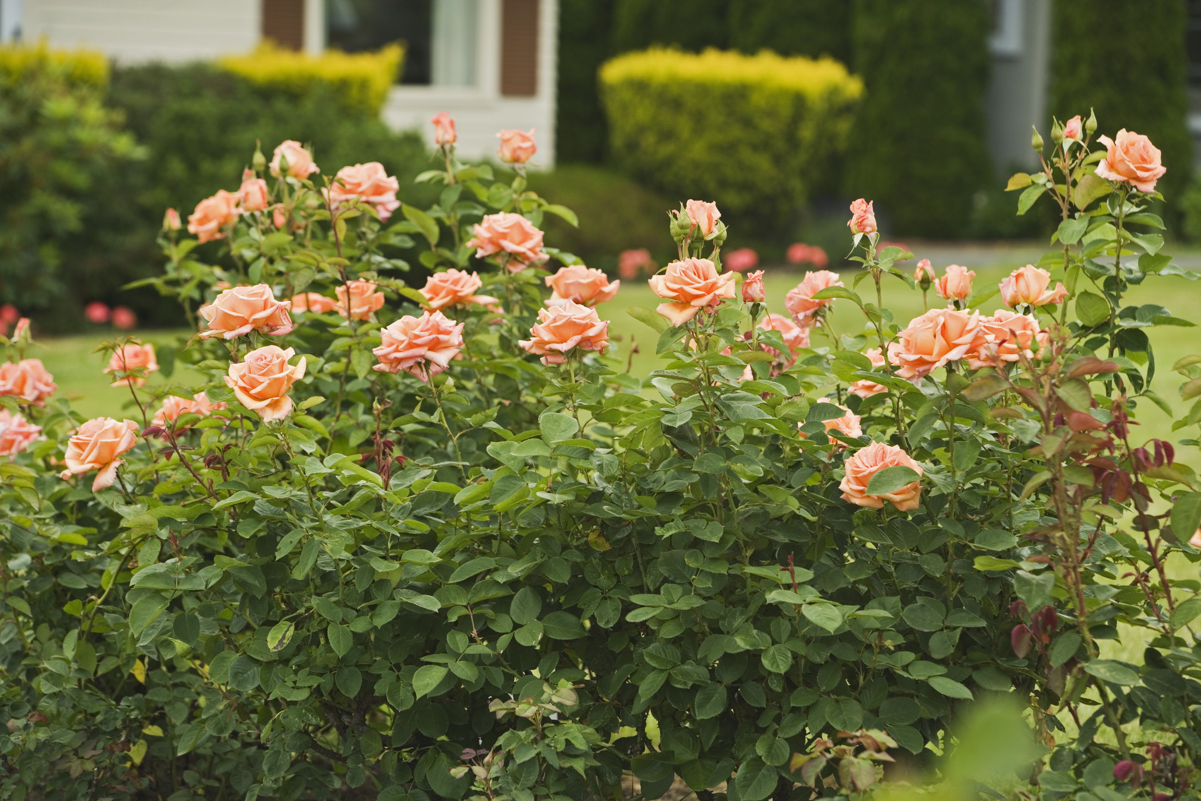 Choosing And Caring For Hybrid Tea Rose Plants
