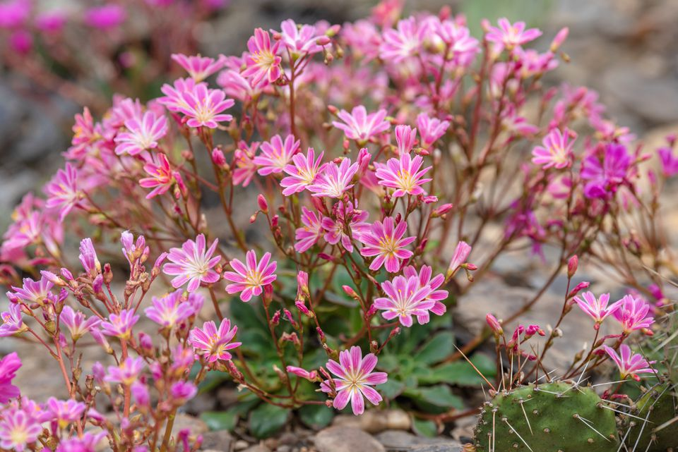 Rainbow lewisia succulent-like plant with small pink and yellow flowers on thin stems