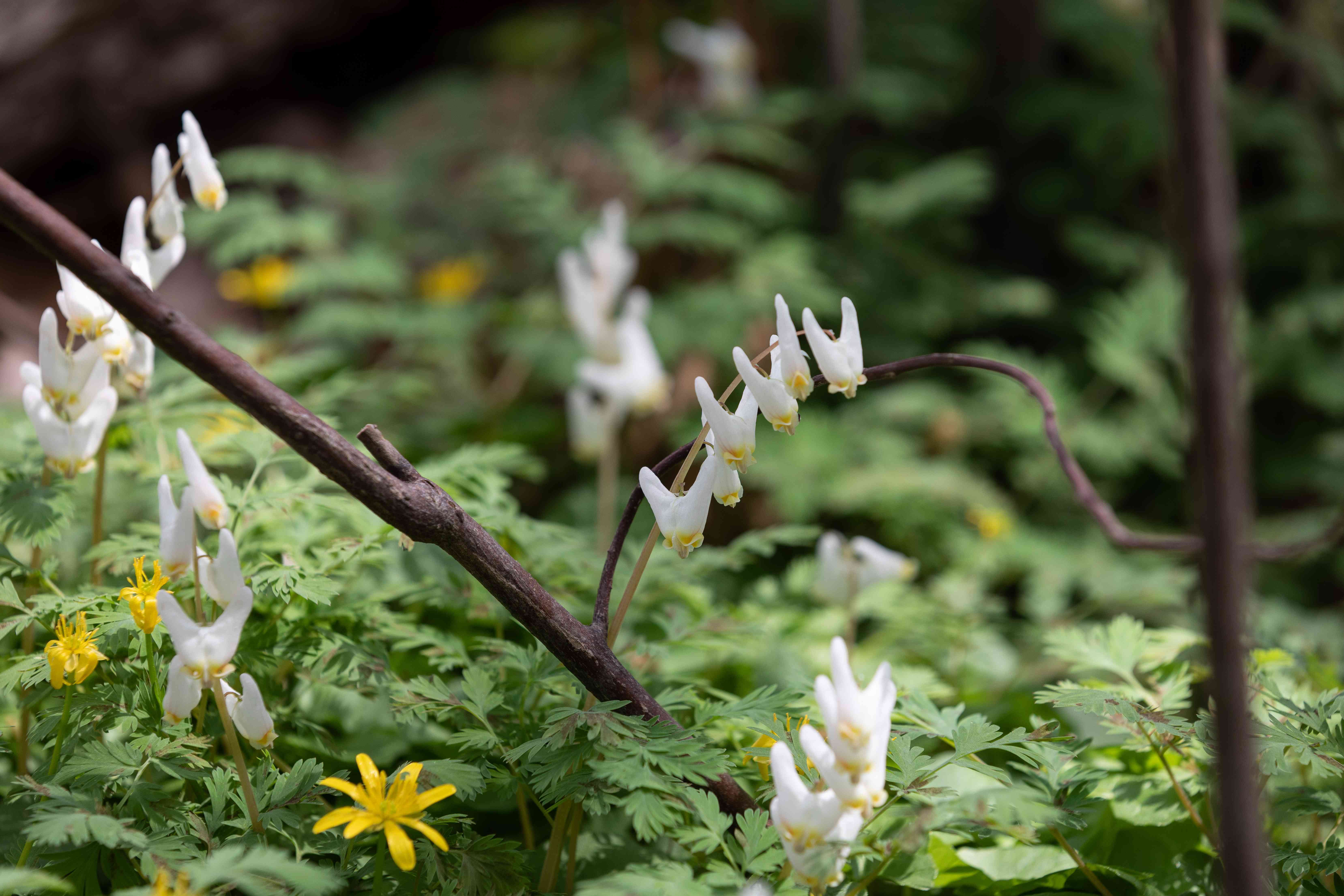Dutchman's breeches small white flowers on thin stems above deeply-toothed foliage