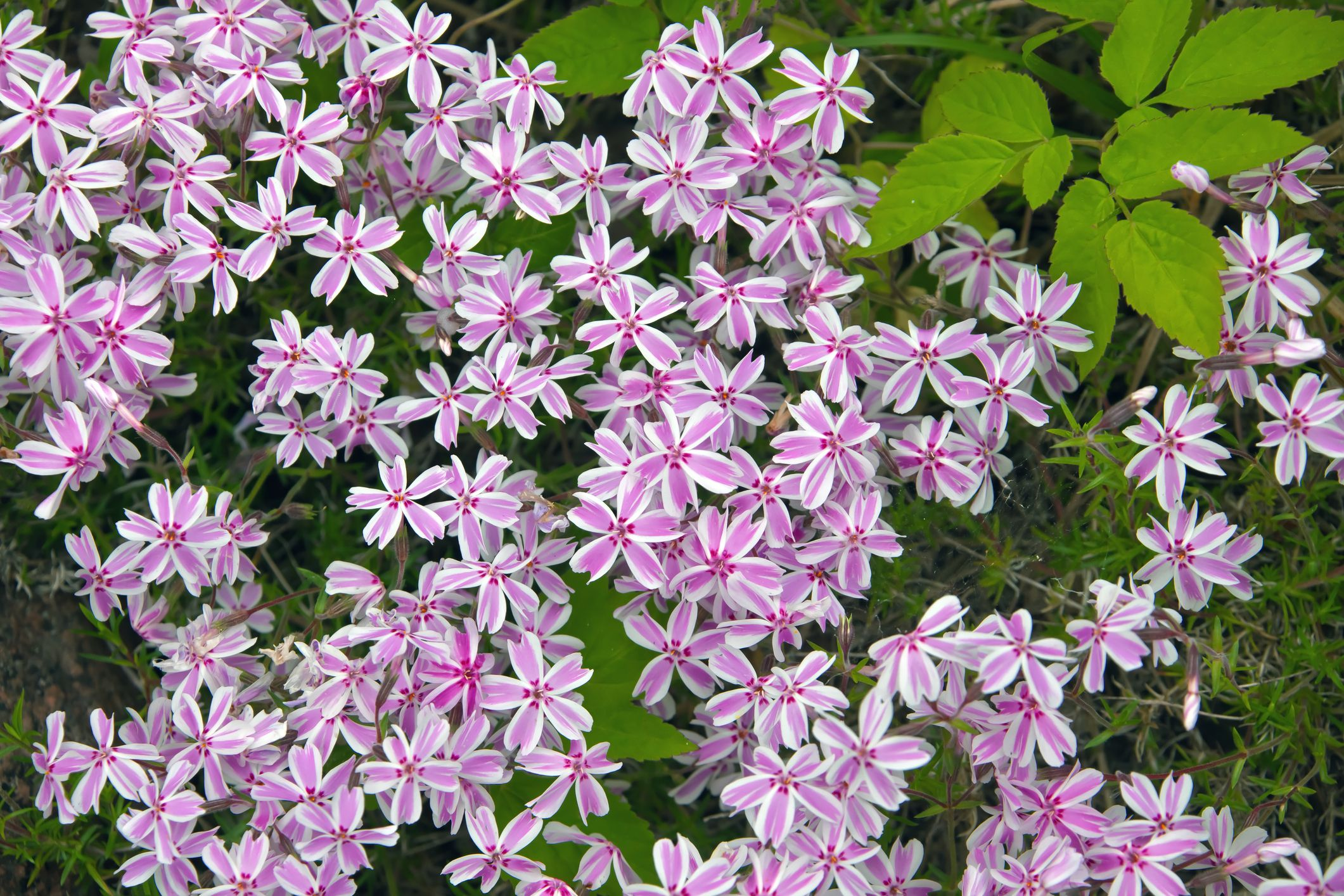 Creeping phlox flowers with pink in middle and white at edges.