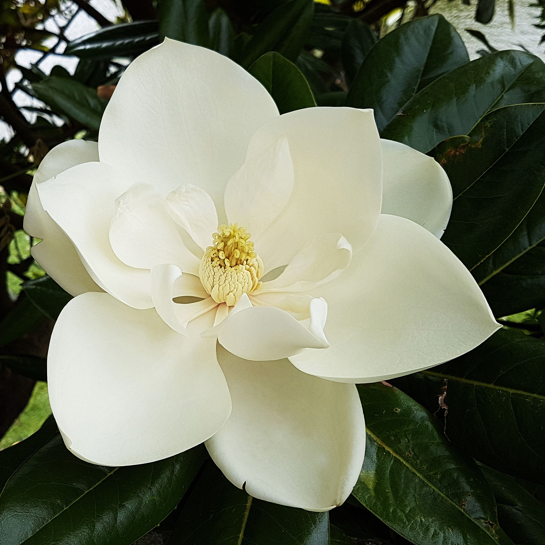 How To Grow The Sweetbay Magnolia Tree