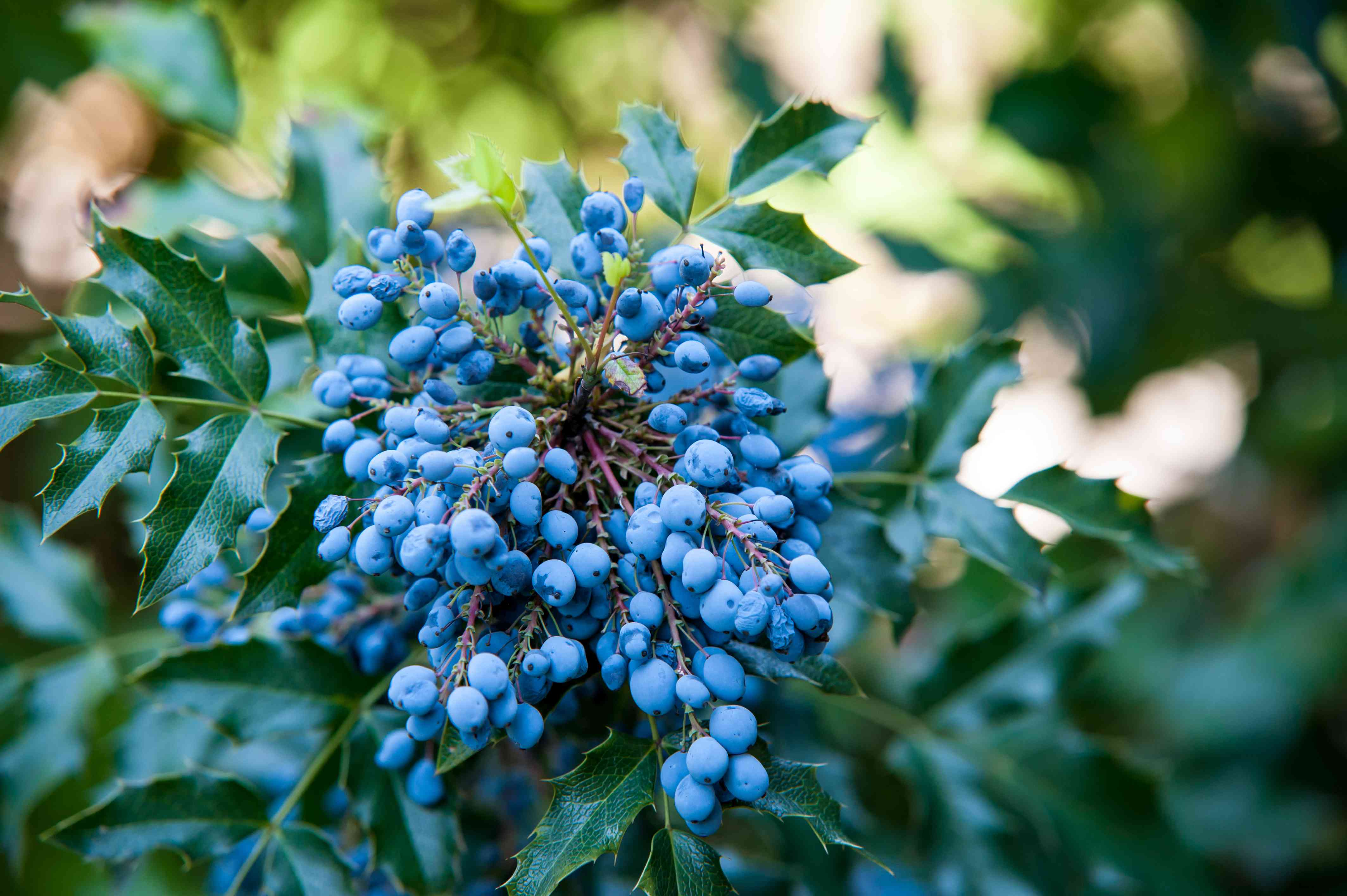 Oregon grape shrub branch with light blue grapes and leaves