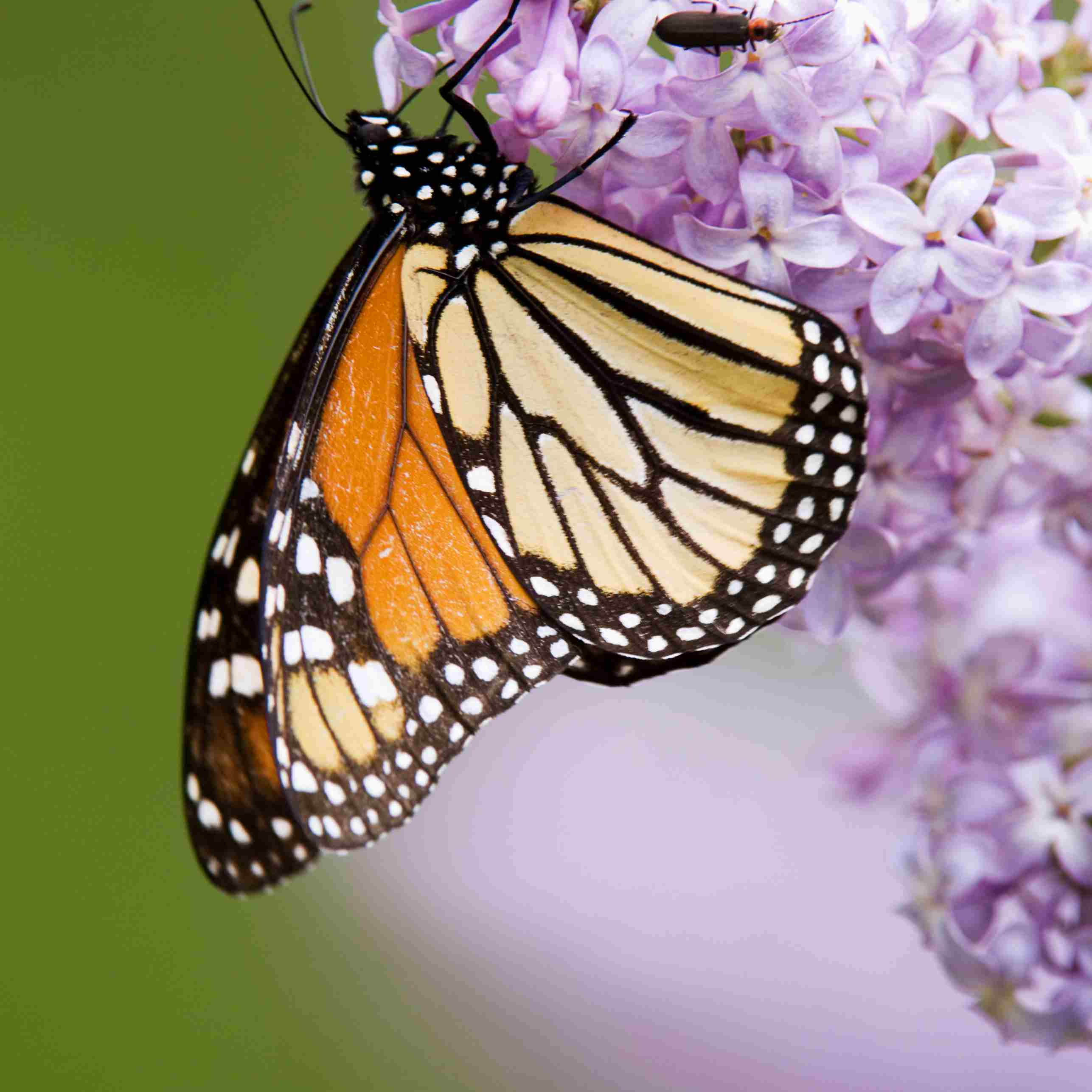 Monarch Butterfly on Lilac