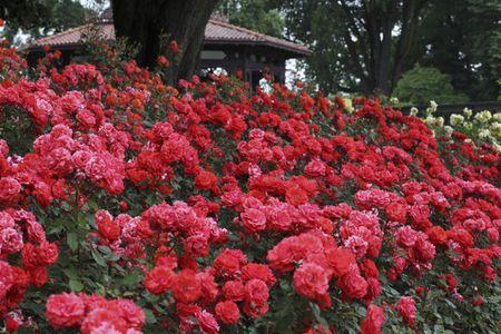 Red Floribunda Roses Rosa Impatient