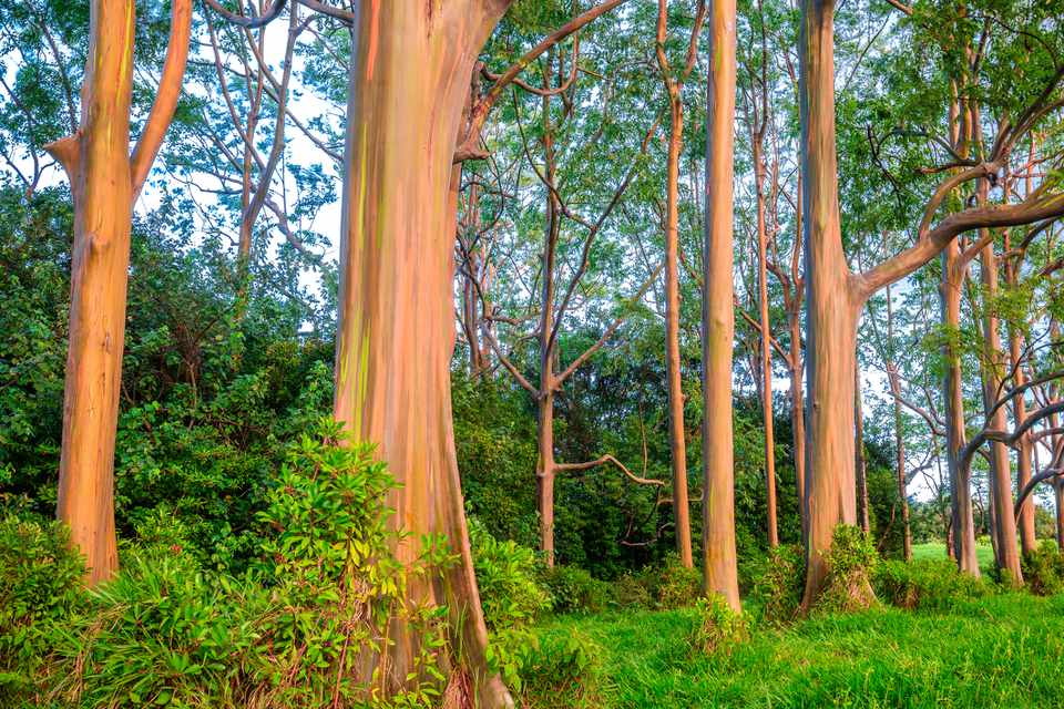 Rainbow Eucalyptus in Maui