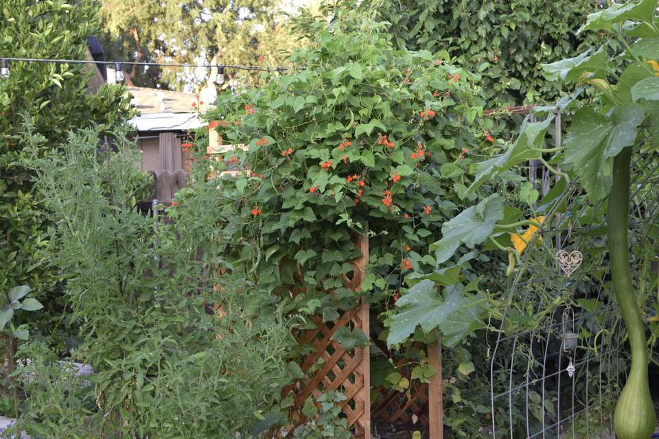 Climbing flowers and vines on a trellis