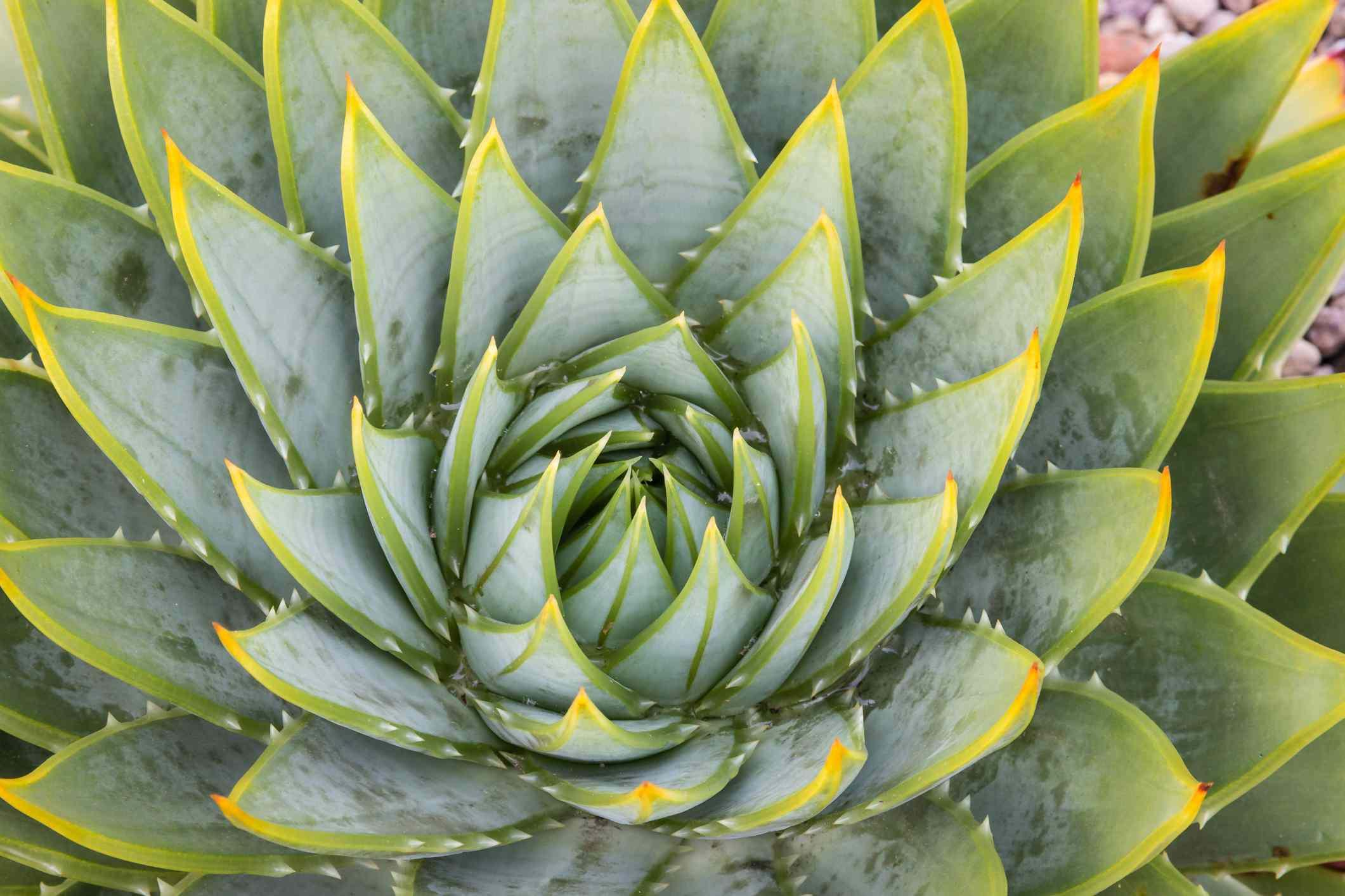 Spiral aloe (Aloe polyphylla) shot from above.