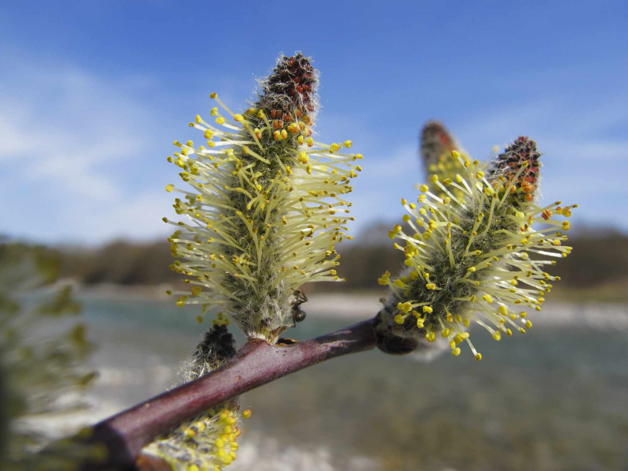 12 Common Species Of Willow Trees And Shrubs