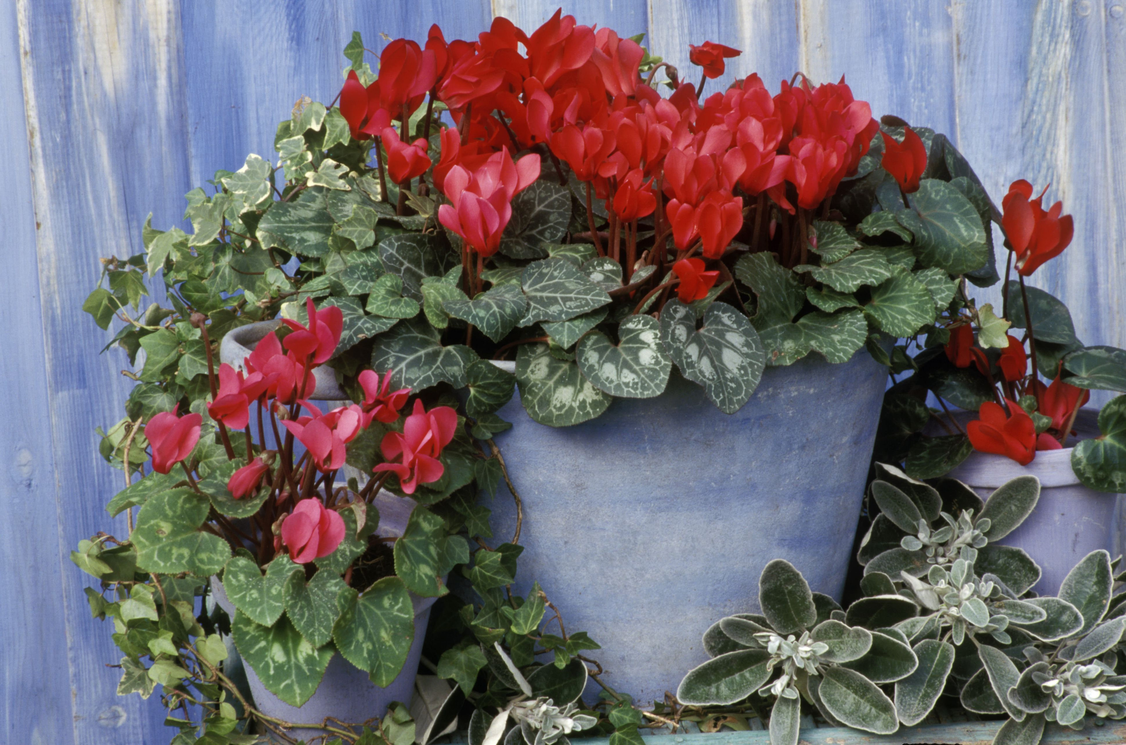 How to Grow and Care for Cyclamen Plants House Plant With Pink Flowers on house with trees and flowers, house plant with fragrant white flowers, popular house plants with flowers, house plant identification, house plant pink splash, perennial daisy plant with purple flowers, house plants that flower, invasive plant with tall orange flowers, growing wax flowers, house plant with waxy flowers, common house flowers, patience yellow flowers, house plant with lily, house plants for dark areas, house plant with color, house plant with small white flowers, house plant with vines, edible plants with flowers, house plant purple heart, bromeliad plant flowers,