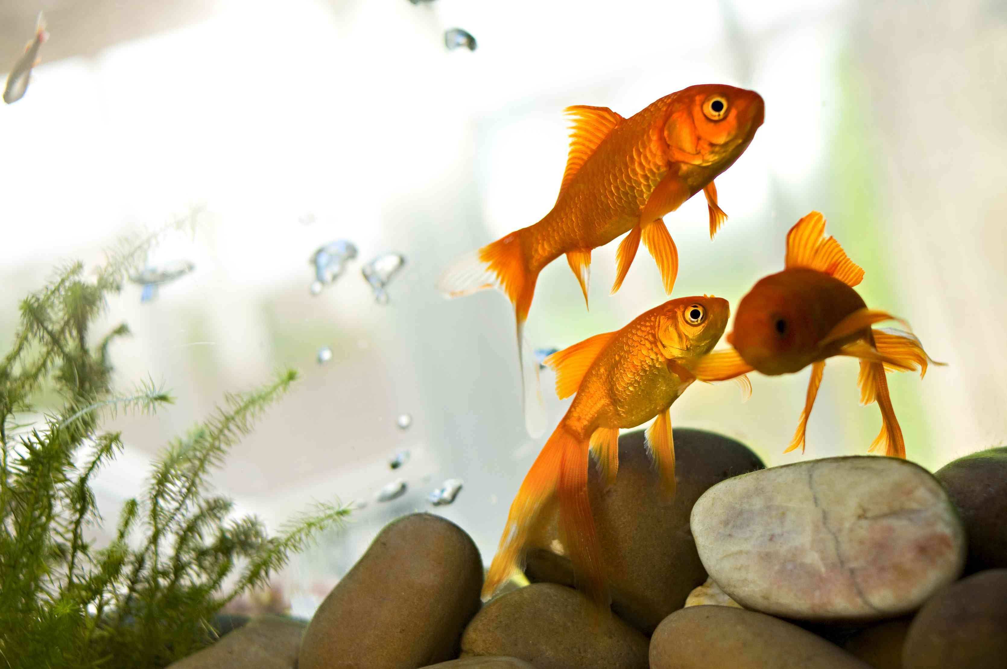 goldfish in a tank with some plants and large rocks