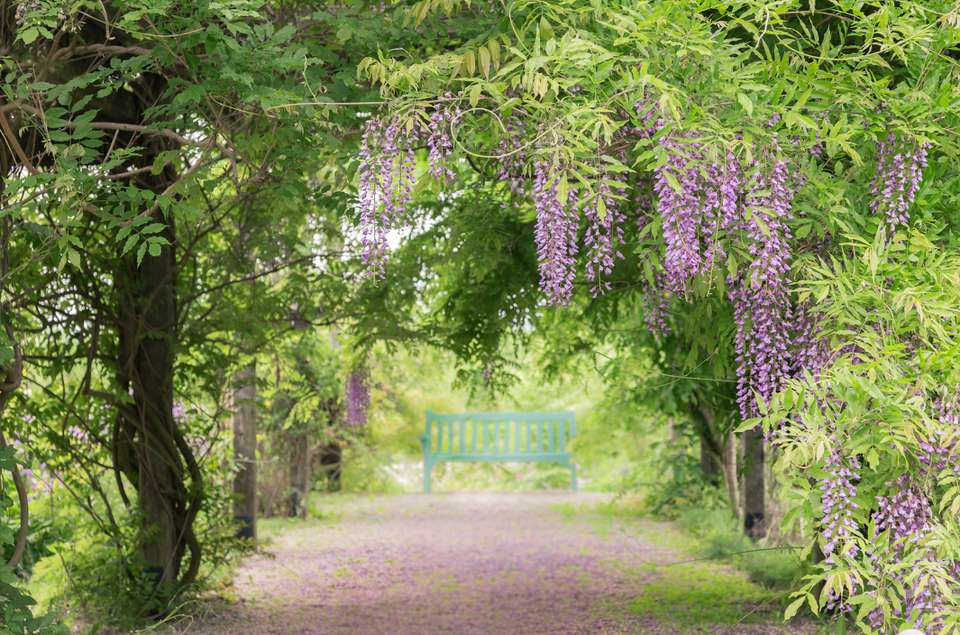 Empty Bench with wisteria