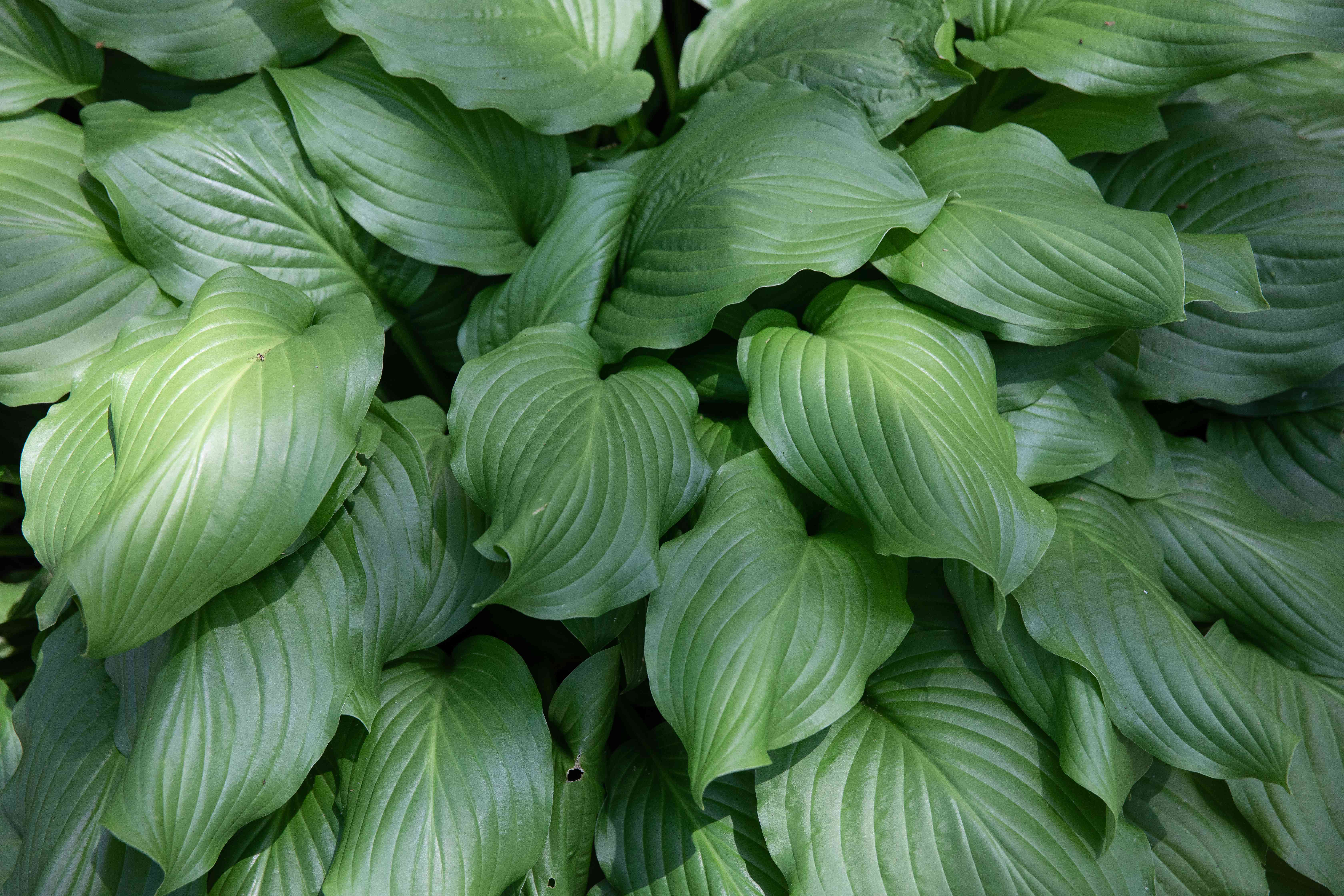 Hosta plant with blue-green ribbed leaves stacked on each other