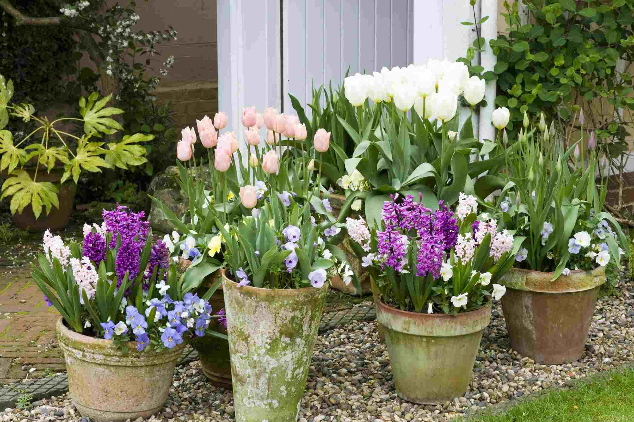 Spring Bulbs in Terracotta Pots