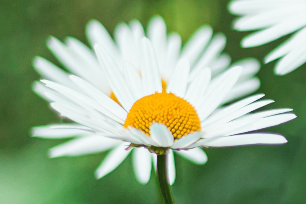 Shasta daisy flower with white daisy-like petals with yellow pollen centers closeup
