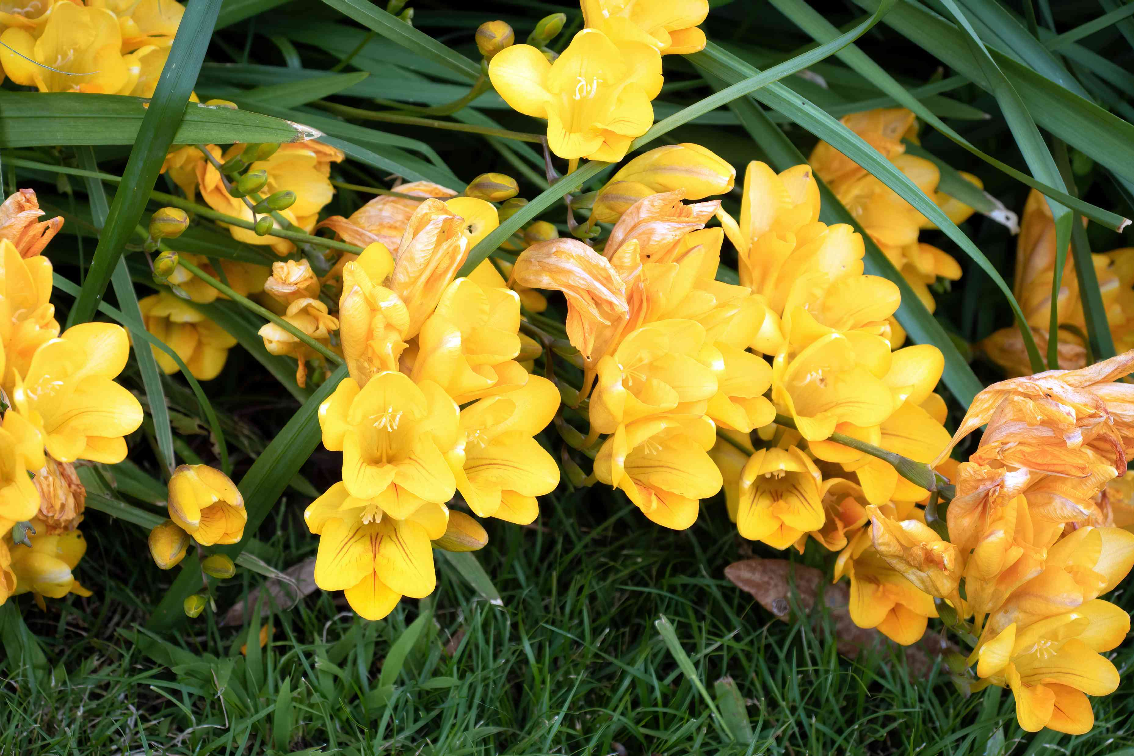 Freesia bulbs with yellow and orange tubular flowers hanging under long leaf blades
