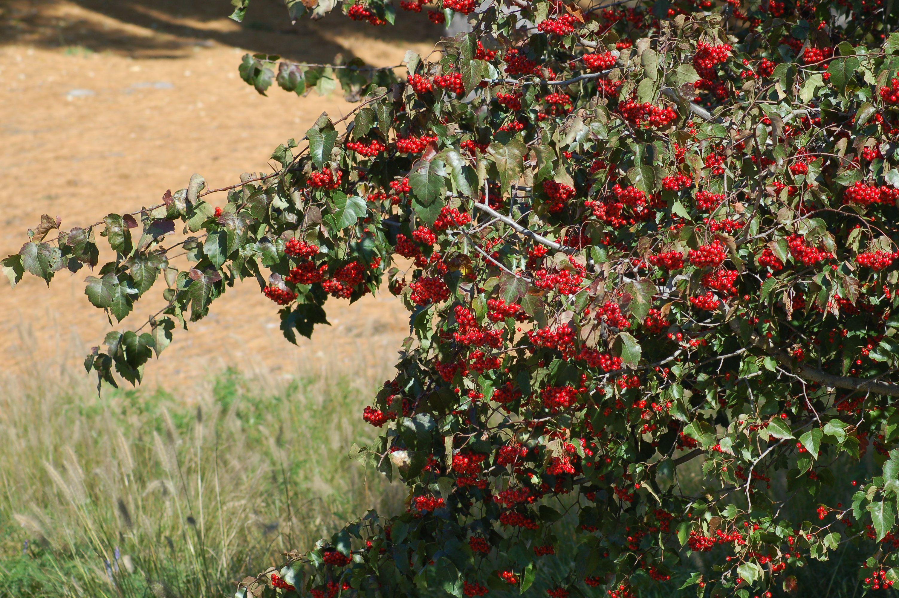 Washington hawthorn tree with berries