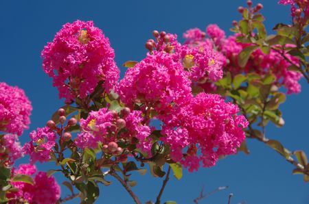 The best flowering trees for your landscape crape myrtle tree flowering in pink mightylinksfo