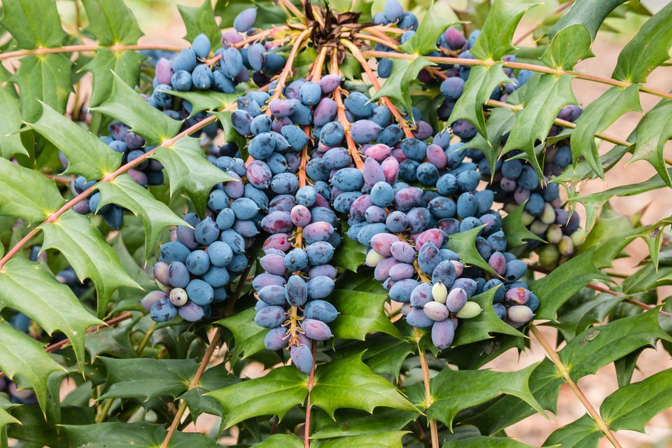 blue mahonia berries and leaves