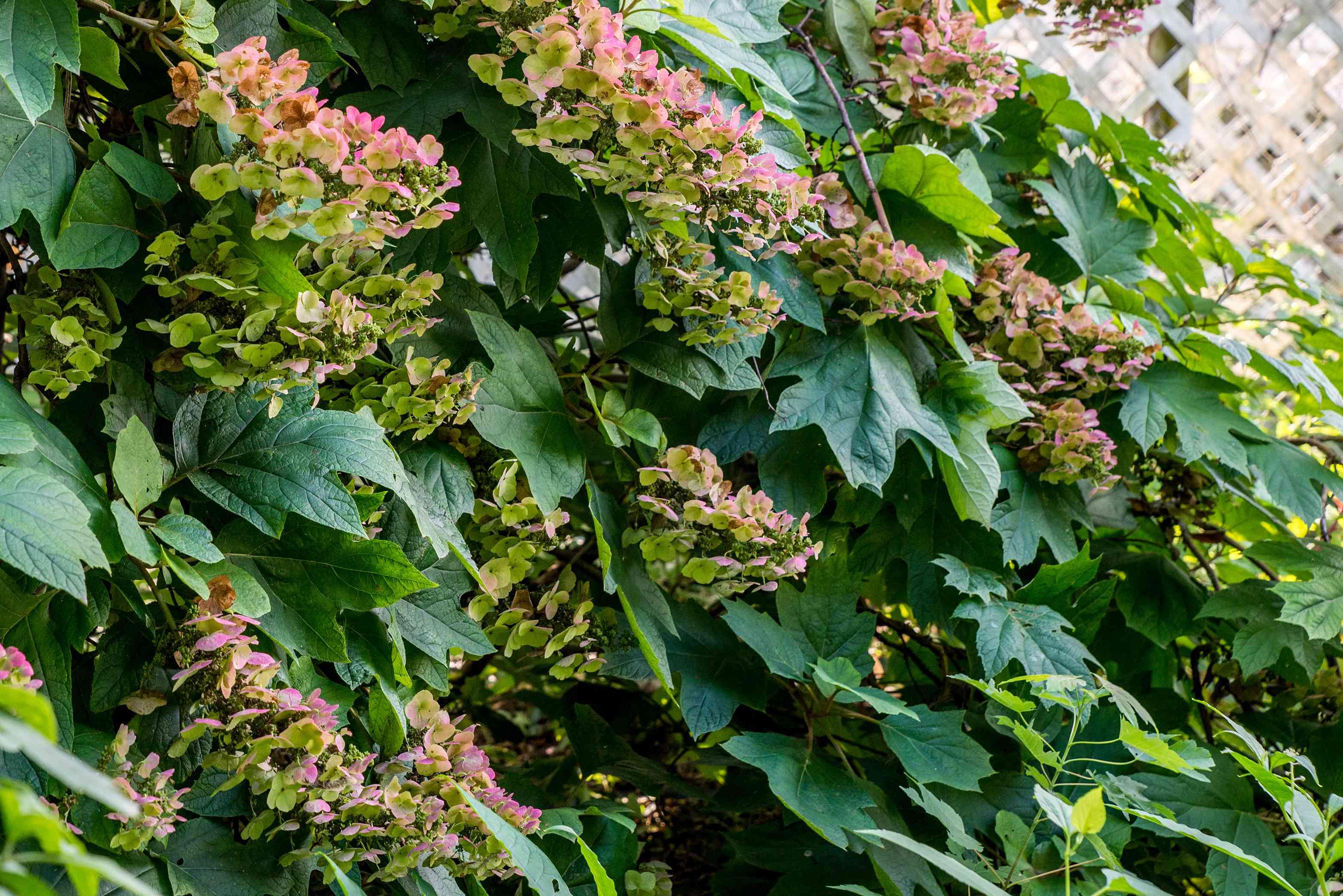 side view of oakleaf hydrangeas