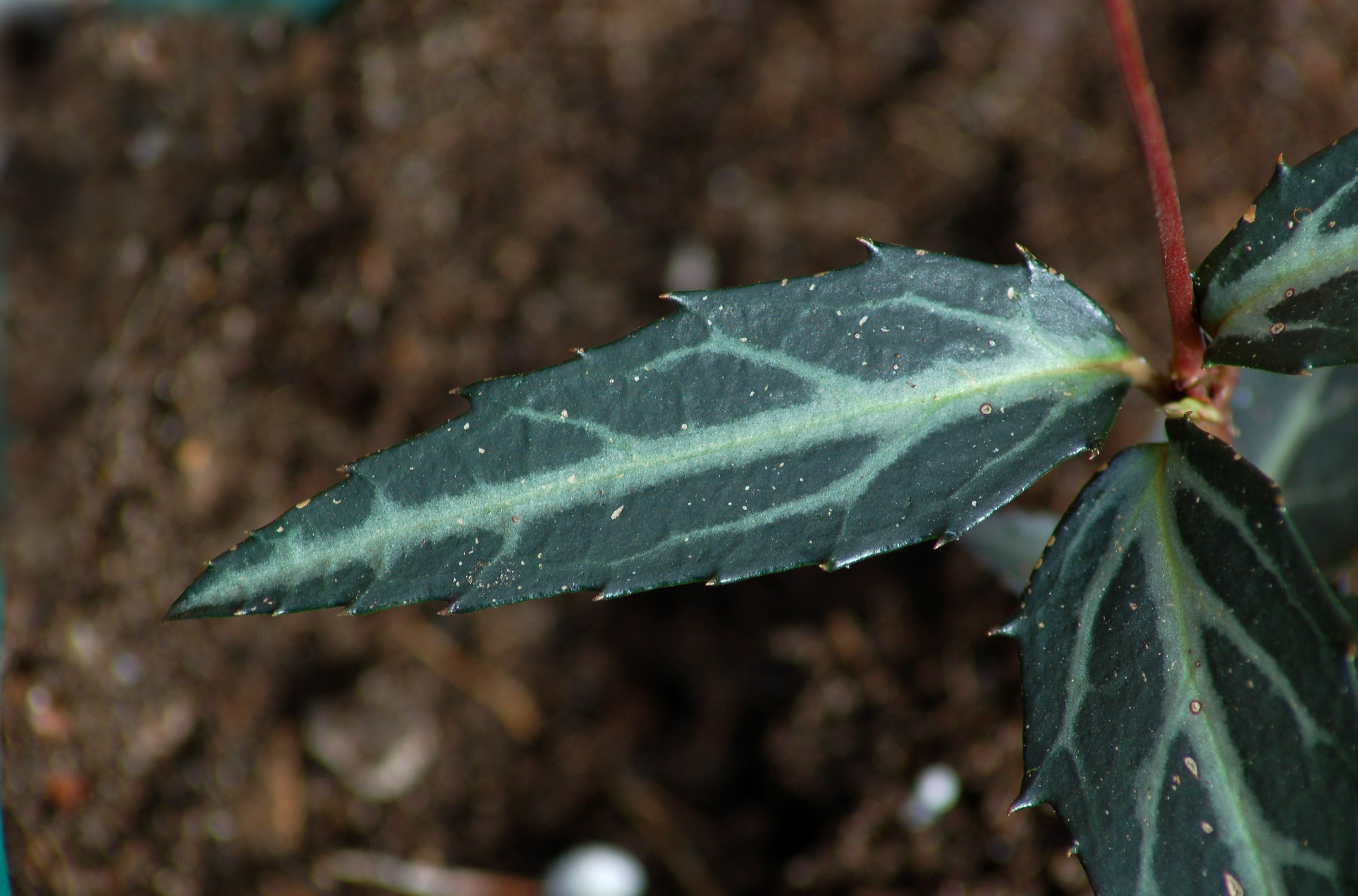 spotted wintergreen leaf
