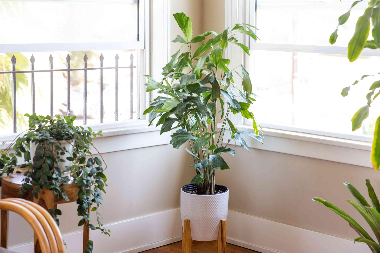 caryota palm indoors