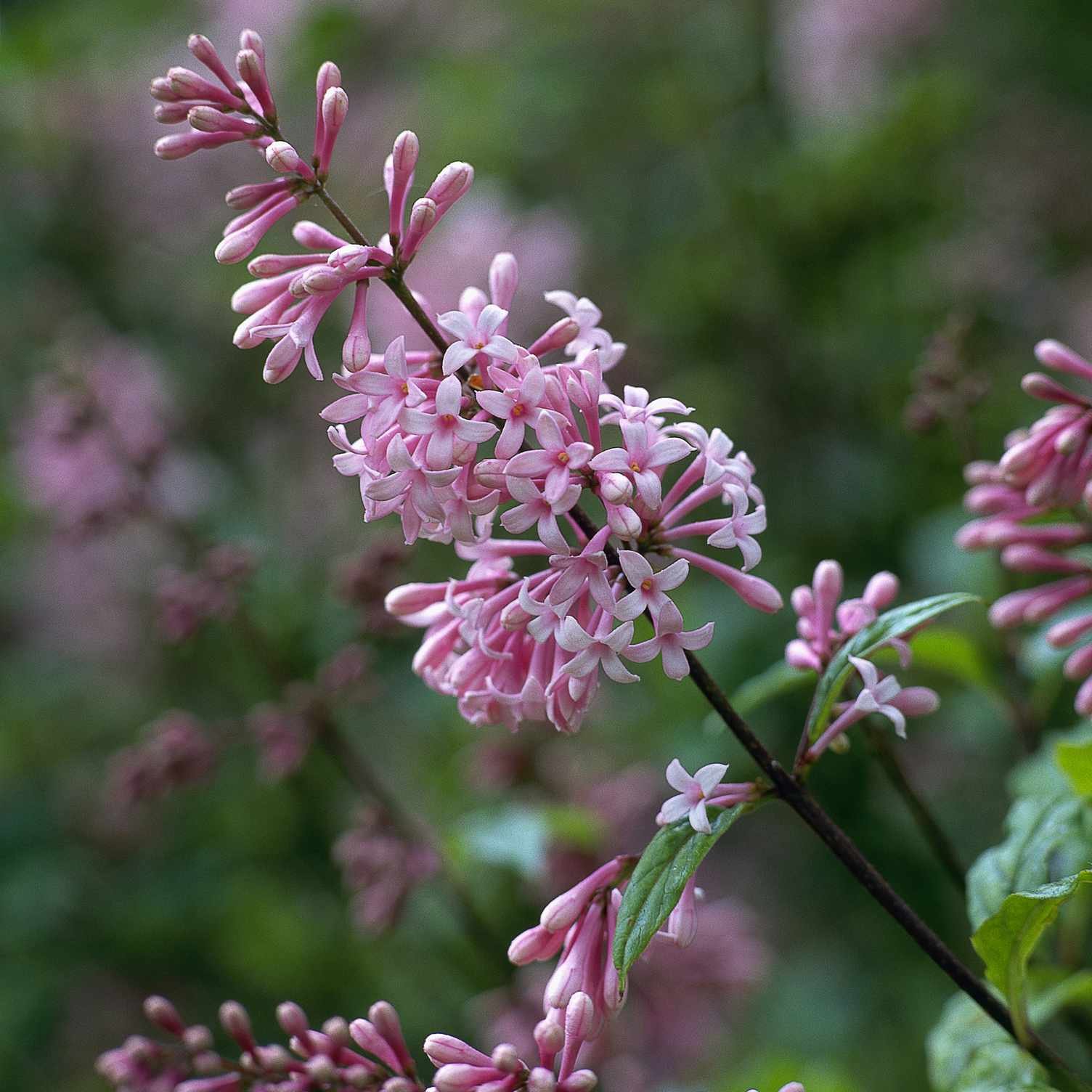 The Superba lilac with pink flowers