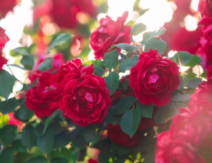 How To Plant New Roses