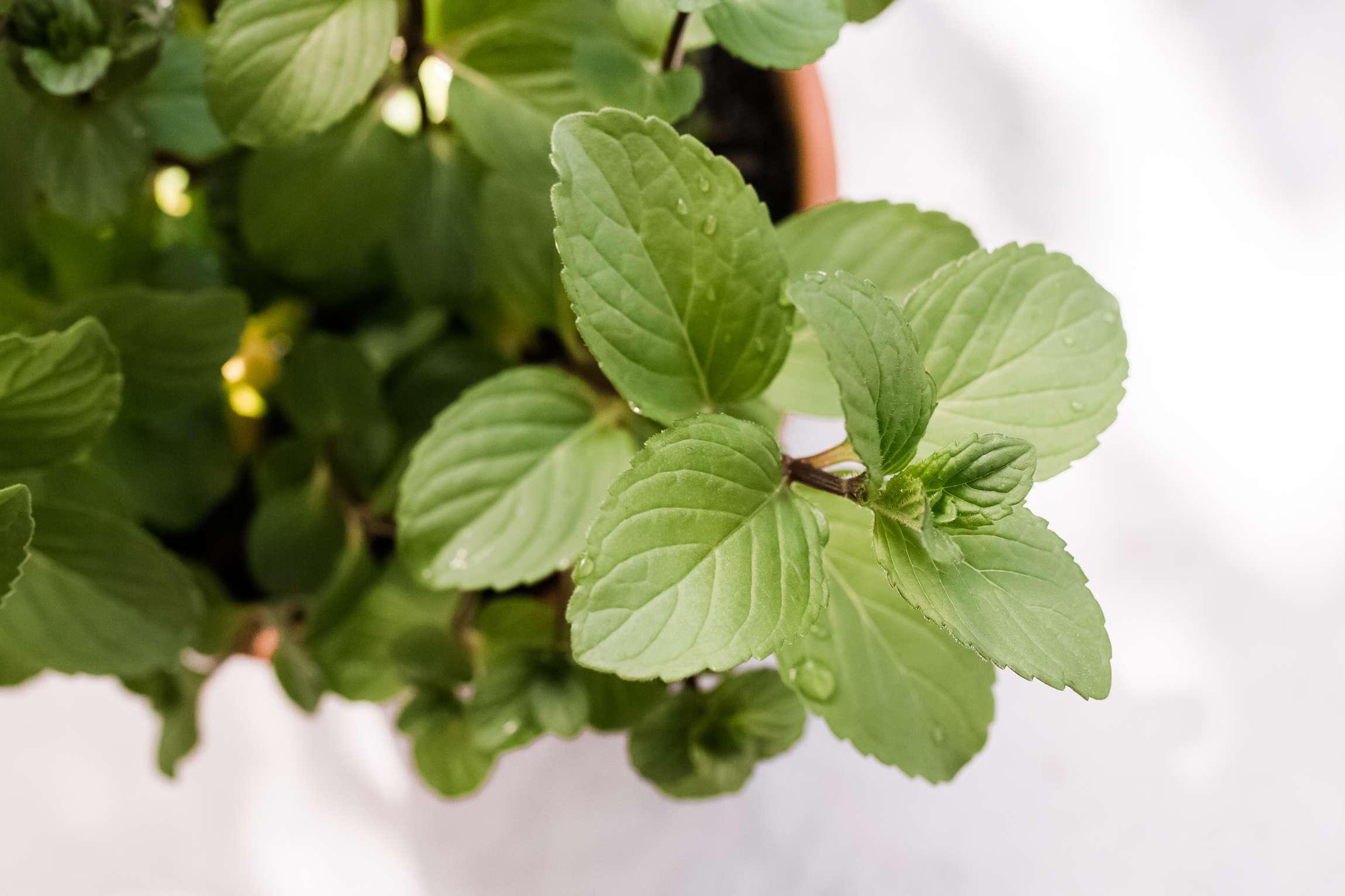 closeup of chocolate mint floret