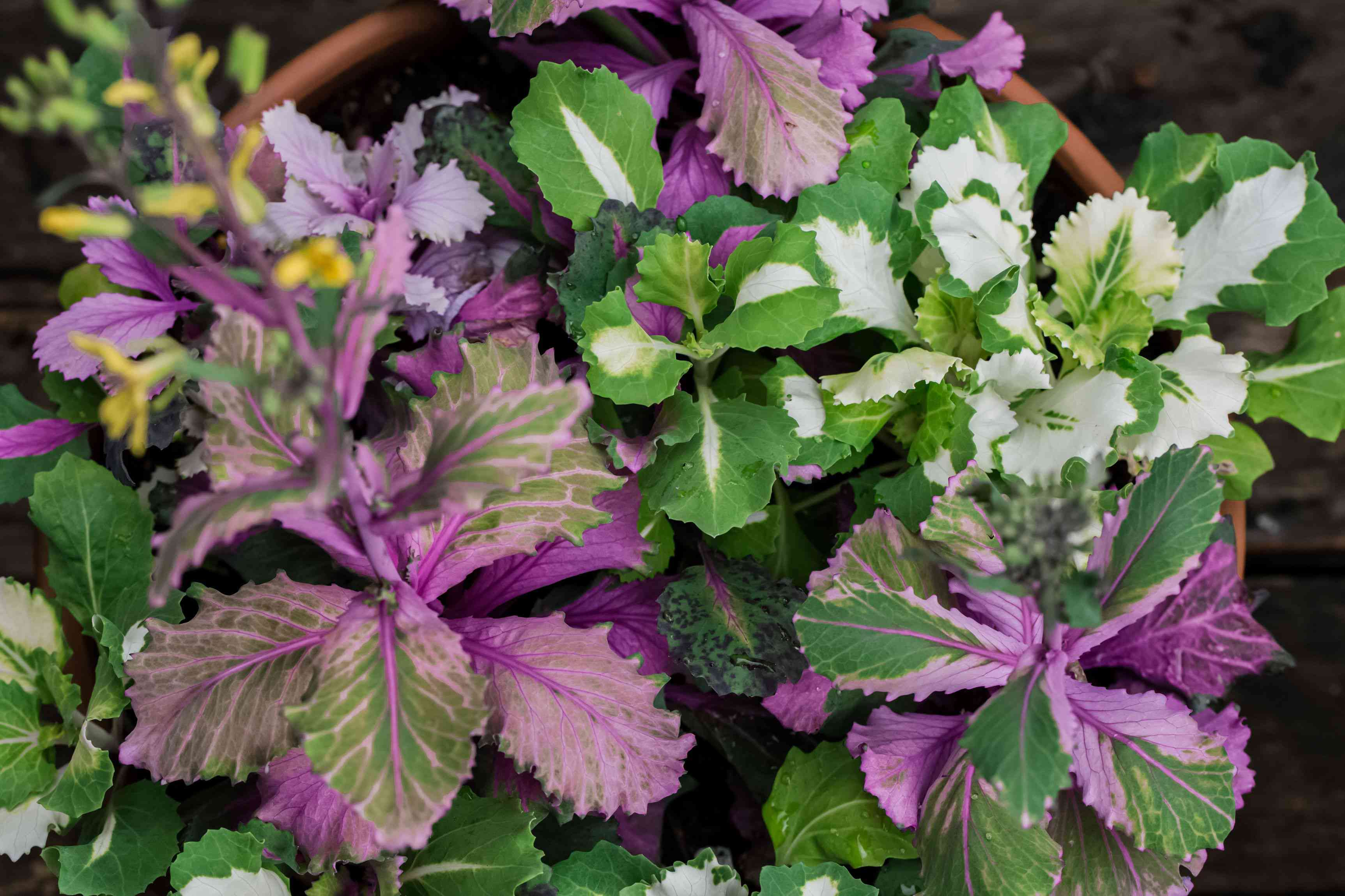 Kale plants with white, purple and green variegated ruffled leaves growing in pots