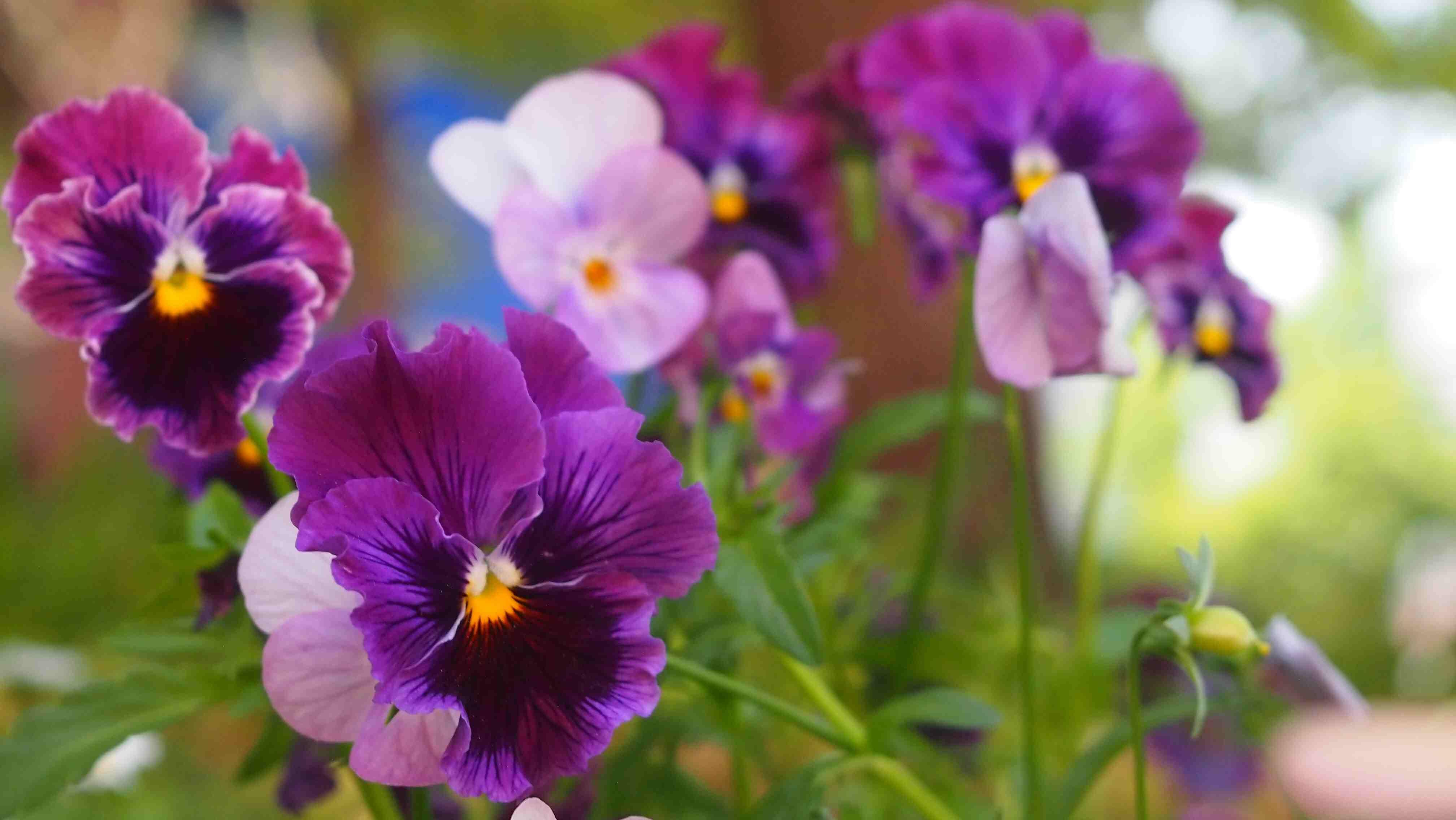 Purple flowering pansies.