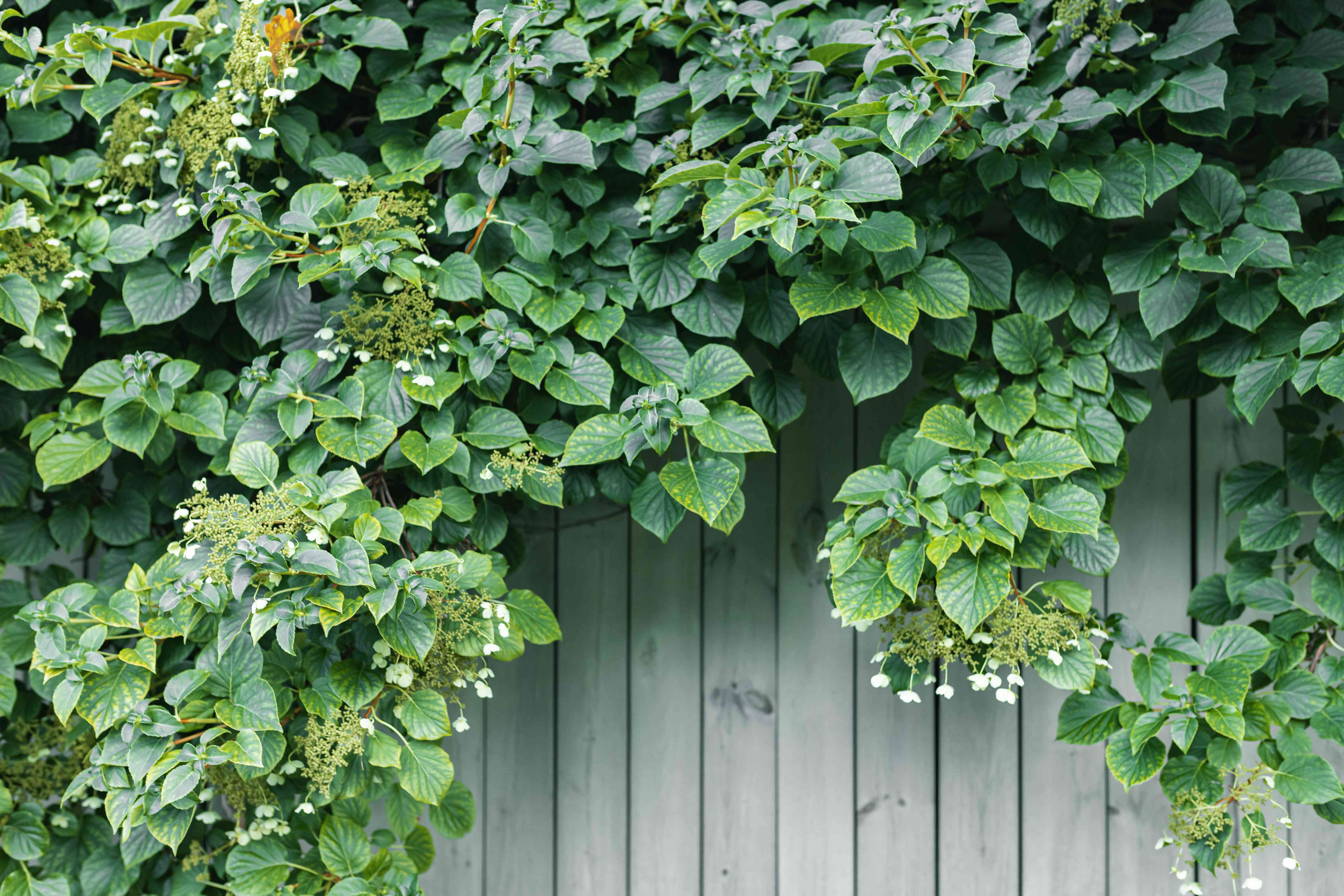 Climbing hydrangea over wooden fence with small white flowers and leaves climbing over