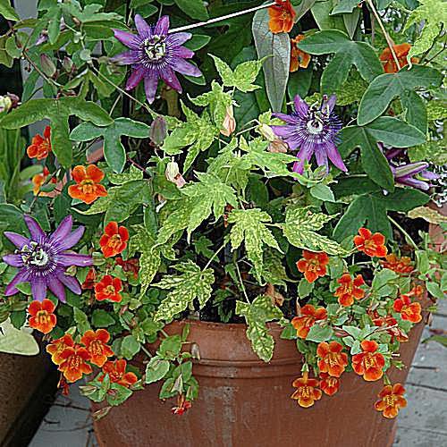 imagen de jardinería en contenedor de Pentas, vid de patata dulce y petunias